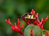 Lychee Shield-backed Jewel Bug, Chrysocoris stollii, Scutelleridae (Eerika Schulz) Tags: bug lychee shieldbacked jewel chrysocoris stollii scutelleridae