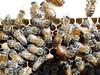 European Honeybee (wild feral) Queen bee laying (closeup macro) (2) (nicephotog) Tags: european honeybee bee apis mellifera queenbee queen laying comb brood hive beehive closeup macro