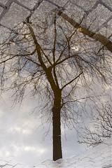 (texierjacqueline) Tags: reflets reflectionpuddles eau arbres rue street trees pavés deparis