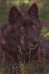 Keyni (Cruzin Canines Photography) Tags: animal animals canon canine canoneos5dmarkiii ef100400mmf4556lisusm wildlife wild wildanimal colorado coloradowolfandwildlifecenter wolf wolves blackwolf outdoors outside nature naturallight naturepreserve