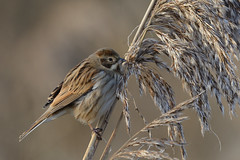 Reed Bunting Titchwell RSPB (JohnMannPhoto) Tags: reed bunting titchwell rspb bird norfolk