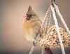 Mrs.Cardinal (brendacyr) Tags: backyardbirds birds smallbirds winter cardinal femalecardinal