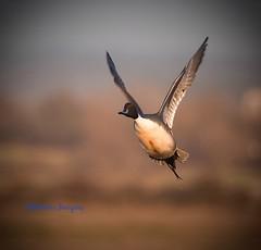 Pintail. (Albatross Imagery) Tags: nikkor nikon wildlifephotography photography photo flickr instagram beautiful birdsinflight hampshire uk nature rspb wildbirds bird birds wildlife ducks duck pintail