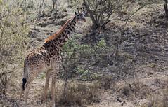 Giraffe (mirsasha) Tags: january kenya giraffe 2017 hellsgate masaigiraffe