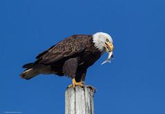Bald Eagle (E_Rick1502) Tags: