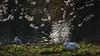 Ross's goose under blossom (PChamaeleoMH) Tags: centrallondon london rosssgeese stjamesspark