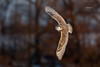 Snowy Owl (Mike Veltri) Tags: owls owl snowy flight birds avian naturephotography wild 2017 ontario canada