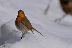 Froid !! (Doriane Boilly) Tags: rouge gorge froid neige oiseaux