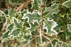 Holly II (Andy Cash) Tags: 2016 andycash fenotn frost lido parks smithpool smithpoolpark unitedkindom fog frozen mist morning