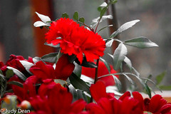 Red carnation (judy dean) Tags: judydean 2017 sonya6000 carnation red indoors bouquet bunch leaves