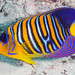 Regal Angelfish with abnormal color pattern - Pygoplites diacanthus