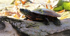 turtle (don.white55 Thanks a million..) Tags: paintedturtlechrysemyspicta wildwoodlake harrisburgpennsylvania donwhite donpwhitephotography thatswildnaturephotography canone0s7od tamronsp150600mmf563divcusda011 turtle reptile fallentrees claws wildlife nature fantasticnature