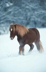 L1166 (lotharlenz) Tags: caballo cavalo cheval equus fotolotharlenz häst hest hestur hobu horse konj paard pferd zirgs winter schnee isländer islandpferd