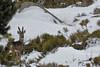 Chevreuil mâle dans la neige aux bois de velours (Patrice Baud) Tags: velour bois chevreuil roedeer deer nikond7100 nikkor300f4 cerdagne pyrénées montagne wild wildlife sauvage mammifère herbivore capreolus caprioli