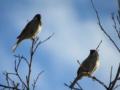 They Have Each Other (Chic Bee) Tags: birds backyard tree branch mockingbird canonsx60hs wintermonsoon winter monsoon tucson arizona southwesternusa americansouthwest america northamerica