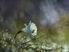Narcissus cantabricus (luisotespi68) Tags: narcisos bulbos bulbosas amarilidáceas flores flora vegetación naturaleza fondo bokeh pentacon 80mm