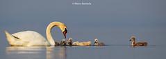 Cygnus family - Garda LAKE (Marco Banterla) Tags: lake birds lago garda uccelli cygnus cigno