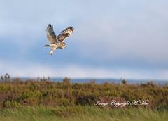 'Short-eared Owl' in flight. (nondesigner59) Tags: nature hunting flight predator birdofprey shortearedowl eos50d nondesigner nd59 copyrightmmee