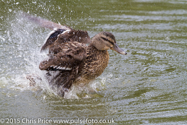 Mallard at Sherfield-On-Loddon Pond