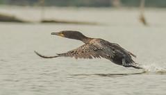 Cormorant (digiphotonut) Tags: indiana cormorant brookvillelake treatylineramp