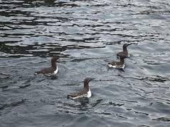 Three Bridled Guillemots (nz_willowherb) Tags: boats see scotland fishing tour visit birdwatching shetland to go mousasound