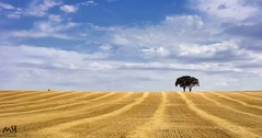 La Manchuela. Junio 2015_3 (MSB.Photography) Tags: sky españa tree planta nature field clouds landscape arbol spain wheat sony paisaje alimento cielo nubes campo aire libre trigo albacete hierba nex7