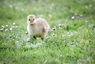 A greylag goose chick with a little flower in its spout
