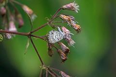 Cassius Blue (Leptotes cassius), Armando Zebadua, Chiapas, Mexico (Terathopius) Tags: mexico chiapas lycaenidae cassiusblue leptotescassius armandozebadua