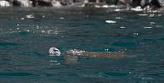 Peeping Turtle (Heather Valey) Tags: ocean green southamerica turtle isabella greenseaturtle galápagosislands canonrebelxti