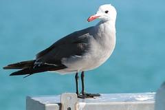 Heerman's Gull (fzx_is_phun) Tags: california birds coast wildlife gulls montereybay seabirds mosslanding