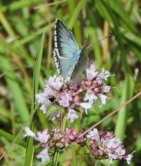 chalkhill blue butterfly (menchuela) Tags: menchuela butterfly insectos insects britishwildlife chalkhillblue polyommatuscoridon