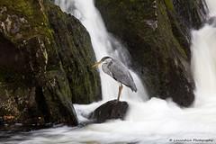 Heron (Lancashire Photography.com) Tags: heron wales river grey fishing betwsycoed snowdonia afon llugwy