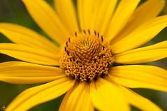 jaune soleil d't (laurentmorand) Tags: flower macro nature fleur plante garden photo jardin morand