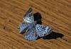 (Mariza Sanches) Tags: azul brasil natureza borboleta flôres piraju