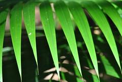 Les dents du palmier. (Claudia Sc.) Tags: brsil brasil brazil amriquedusud jardin botanique sopaulo palme vgtal gomtrie soleil
