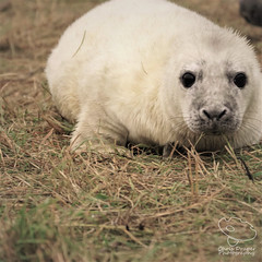 Grey Seal Pup (UK Nature Photography) Tags: greysealpup greyseal seal pup dusk mammal sony sal70300g november dunes beach wildlife wild lincolnshire donnanook