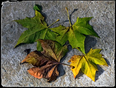 "HOJAS   -   LEAVES (Miquel Fabré) Tags: miquelfabre hojas leaves europa eureope añonuevo newyear color colorful ouside airelibre naturaleza nature canon canoneos60d paseo wishes deseos platanodesombra "" creations"" uniquecreations· saariysqualitypictures"