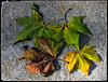 """HOJAS   -   LEAVES (Miquel Fabré) Tags: miquelfabre hojas leaves europa eureope añonuevo newyear color colorful ouside airelibre naturaleza nature canon canoneos60d paseo wishes deseos platanodesombra """" creations"""" uniquecreations· saariysqualitypictures"""