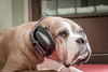 Dogs and Fireworks (Vinicius_Ldna) Tags: 0499 nina pet love dog fireworks fogosdeartifício newyear anonovo headphones fonesdeouvido canon 50mm londrina brazil