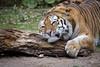 Ich liebe diesen Stamm (DeanB Photography) Tags: zoom zoo gelsenkirchen tiger katze raubkatze raubtier tier animal tiere animals stamm baum fleischfresser gefährlich wild