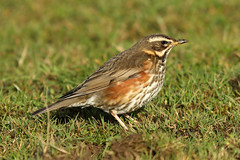 Redwing - Turdus iliacus (Roger Wasley) Tags: redwing turdus iliacus lower slaughter cotswolds cotswold hills gloucestershire golden plover lapwing wild birds