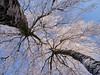 Frozen Tree Perspective (Blueocean64) Tags: belgium belgique wallonie hainaut charleroi jumet park parc nature natura tree arbres plante plant calme serene quiet peaceful day extérieur outdoor light winter white blue perspective panasonic g5 captureone 美丽 艺术 摄影 欧洲 旅游 景观 探索