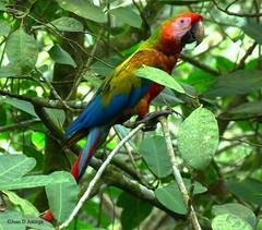 Hibrido (Ara macao X Ara ambiguus) = Ara verde (Juan D Astorga / juan.astorga88@gmail.com) Tags: avesdecostarica aves costarica juandastorga psittacidae guacamayos lapa aramacaoxaraambiguus araverde híbridos