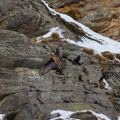 Alpine wildlife (Fulvio's photos) Tags: eos7d pngp valleorco canon100400 gypaetusbarbatus parconazionalegranparadisogipeto piemonte canon canonef100400mmf4556lisusm beardedvulture ceresolereale