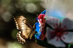 Mariposa (cmarga28) Tags: butterfly colores colorido luz transparencia nikon digital raw d750 color colour foto photography photographer bella iluminada hermosa naturaleza transparente