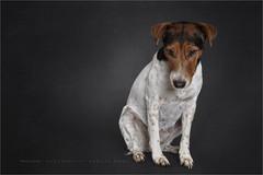 Tender feeling... (Marijke M2011) Tags: foxterrier boerenfox dog dogportrait hond hondenportret animal pet petportrait huisdier indoor studio studiolightning