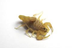 Hottentotta arenaceus (Namibia / Aroab) ♂adult (ScorpionsExplored) Tags: namibia aroab venomous invertebrate buthidae scorpion