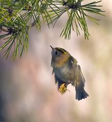 Hovering Goldcrest (Carl Bovis Nature Photography) Tags: bird cute flight hovering goldcrest hover pine needles tree nature fly inflight cheddar cheddarreservoir springwatch somerset england uk carlbovisnaturephotography