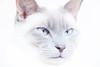Mr. Mackey BlueEyes (Renate van den Boom) Tags: 03maart 2016 europa gelderland highkey jaar katten maand mack nederland renatevandenboom stijltechniek thuis