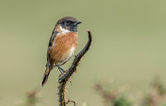 DSC1789  Stonechat.. (jefflack Wildlife&Nature) Tags: stonechat chats chat birds avian animal wildlife wildbirds songbirds glades gorse countryside coastalbirds moorland nature ngc npc
